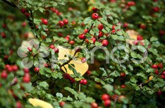 Cotoneaster im Herbst Stock Photos