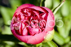 - pink primerose Stock Photos
