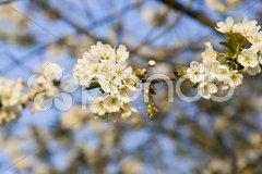 Blühender Baum Stock Photos