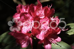 Rhododendron - 12 Stock Photos
