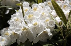 Rhododendron - 22 Stock Photos