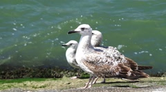 Large gray seagull Stock Footage