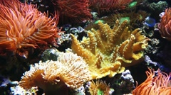 Sea anemones predatory of order Actiniaria Stock Footage