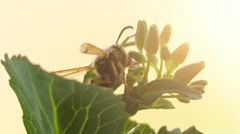 Wasp is any insect of order Hymenoptera Stock Footage