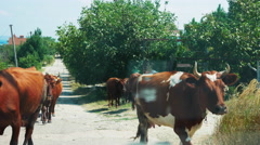 Cows Crossing the Road and Prevented Vehicles. View of the Car Stock Footage