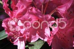 Rhododendron - 21 Stock Photos