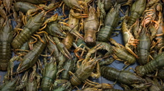 Live river crayfish closeup timelapse Stock Footage