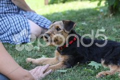 Airedale Terrier-Welpe Stock Photos