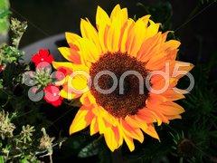 Sunny sunflower Kuvituskuvat