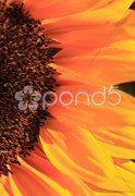Close up of the florets and petals of a sunflower Stock Photos