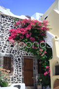 Bougainvillea growing Stock Photos