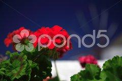 Red geranium close up Stock Photos