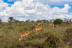 Antelopes Stock Photos
