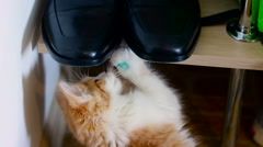 Little Cat Plays With Men's Shoes Stock Footage