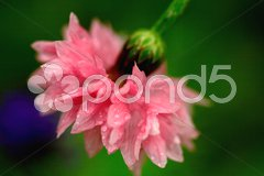 Pink carnation Stock Photos