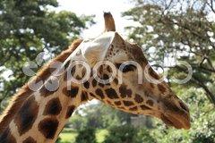 Close up to a Giraffe Stock Photos