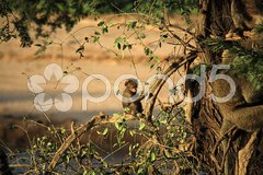 Baby baboon sat in a tree Stock Photos