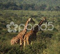 Two African giraffe Stock Photos
