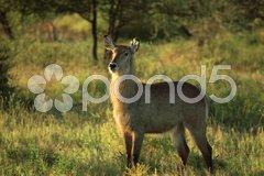 Female waterbuck Stock Photos