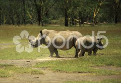 Mother and baby Rhino Stock Photos