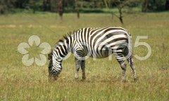 Zebra at Lake Nakuru Stock Photos