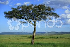 Masai Mara tree Stock Photos