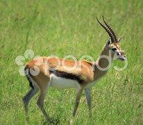Standing gazelle Stock Photos