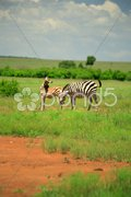 Burchell's Zebra and foal Stock Photos