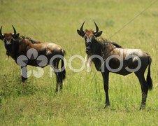 Two wildebeest Stock Photos