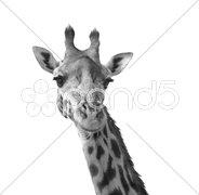 Black and white giraffe Stock Photos
