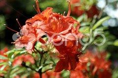 Rhododendron - 3 Stock Photos