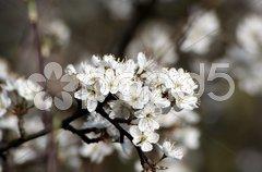 - flowered apple-tree Stock Photos
