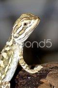 Junger Bartagame  - (Pogona vitticeps) Stock Photos