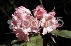 Rhododendron - 9 Stock Photos
