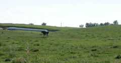 Cow Thats Black and White Walking on Farmers Grass Field Wide, 4K Stock Footage