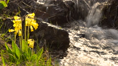Yellow Wild Primrose on a Background Bokeh Solar Flare. Mountain Brook Middle Stock Footage