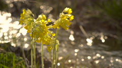Yellow Wild Primrose on a Background Bokeh Solar Flare. Close-Up. Stock Footage