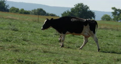 Cow Thats Black and White Walking on Farmers Grass Field Close, 4K Stock Footage