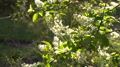 Flowering Bird Cherry in the Early Spring in the Wild Birch Forest Stock Footage