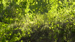 Birch Forest in Early Spring in the Transmitted Light of the Sun Stock Footage