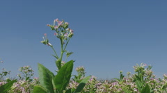 Blossoming tobacco plant, zoom in Stock Footage
