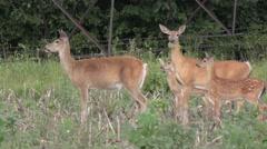 White tailed deer feeding Stock Footage