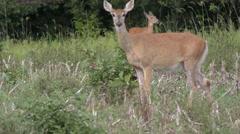 White tailed deer feeding Arkistovideo