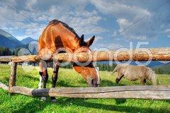 Horses, Dolomites, Italy, August 2007 Stock Photos