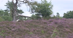 Scots pine in blooming heathland Stock Footage