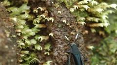 Pygmy mole cricket,  Ripipteryx sp., family Ripipterygidae. Stock Footage