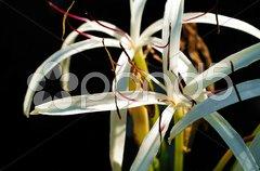 Exotische Blüte vor schwarzem Hintergrund Stock Photos