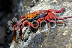 Rote Klippenkrappe Galapagos Stock Photos