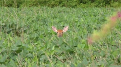 White tailed young  deer feeding Stock Footage