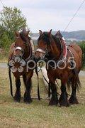 Zwei Ardenner-Pferde beim Holzrücken Stock Photos